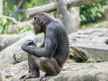 Schließen Sie oben von einem Schimpansen Stockbild