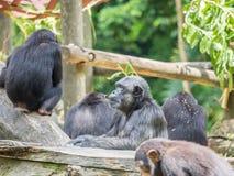 Schließen Sie oben von einem Schimpansen Stockfoto