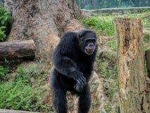 Schließen Sie oben von einem Schimpansen, der nach Lebensmittel fragt Lizenzfreies Stockbild