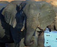 Schließen Sie oben von einem schlammigen Kopf und einem Stamm des afrikanischen Elefanten mit starken Schatten stockfotos