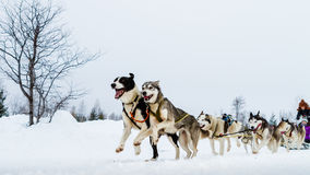 Schließen Sie oben von einem Schlittenhundeteam in der Aktion und in Richtung zum camer vorangehen Stockfotografie