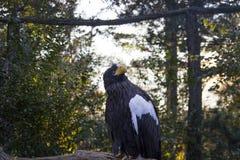 Schließen Sie oben von einem schwarzen Adler mit einer weißen Farbe auf seinem Flügel, der im Himmel mit Bäume auf Hintergrund si Stockfotografie