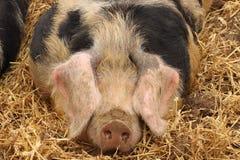 Schließen Sie oben von einem sehr großen Schweinrosa Stockbilder