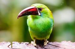 Schließen Sie oben von einem Smaragd-Toucanet stockfoto
