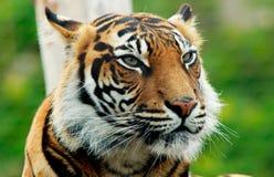 Schließen Sie oben von einem Sumatran Tiger Face Stockfotos
