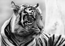 Schließen Sie oben von einem Sumatran Tiger Face Stockbild