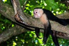 Schließen Sie oben von einem Weiß gegenübergestellten Cappuchin-Affen Stockbilder