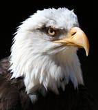 Schließen Sie oben von einem Weißkopfseeadler Stockfotos