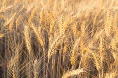 Schließen Sie oben von einem Weizenfeld lizenzfreie stockfotos