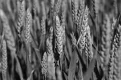 Schließen Sie oben von einem Weizenfeld in Frankreich Stockfotografie