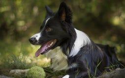 Schließen Sie oben von einem Welpen von border collie im Wald entspannend mit dem Ball Lizenzfreie Stockfotografie