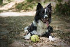 Schließen Sie oben von einem Welpen von border collie im Wald entspannend mit dem Ball Stockfotografie
