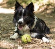 Schließen Sie oben von einem Welpen von border collie im Wald entspannend mit dem Ball Lizenzfreies Stockfoto