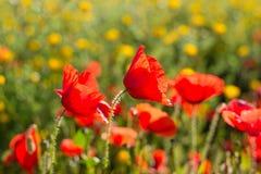 Schließen Sie oben von einem wilden Mohnblumenfeld Lizenzfreie Stockbilder