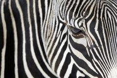 Schließen Sie oben von einem Zebra Stockbilder