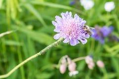 Schließen Sie oben von einer Blume in einem Garten mit Ameisen einer Biene und Reblaus auf der Blume Stockfotos