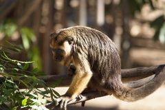 Schließen Sie oben von einer Brüllaffe am Zoo, der auf einem Baumast sitzt Subfamily Alouattinae, Lizenzfreies Stockfoto