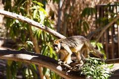 Schließen Sie oben von einer Brüllaffe am Zoo gehend über Baumaste Lizenzfreie Stockfotografie