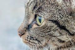 Schließen Sie oben von einer braunen Katze Lizenzfreie Stockfotos