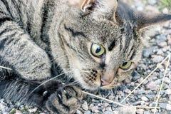 Schließen Sie oben von einer braunen Katze Stockbilder