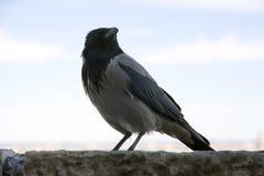 Schließen Sie oben von einer Corvus cornix alias Krähe in Schloss Budapests Ungarn Stockbild