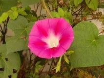 Schließen Sie oben von einer einzelnen rosa Windenblume Lizenzfreies Stockbild