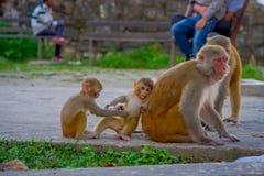 Schließen Sie oben von einer Familie von den Affen, die am Freien bei Swayambhu Stupa, Affe-Tempel, Kathmandu, Nepal spielen Lizenzfreie Stockfotos