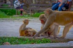 Schließen Sie oben von einer Familie von den Affen, die am Freien bei Swayambhu Stupa, Affe-Tempel, Kathmandu, Nepal spielen Lizenzfreies Stockfoto