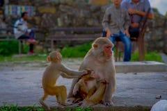 Schließen Sie oben von einer Familie von den Affen, die am Freien bei Swayambhu Stupa, Affe-Tempel, Kathmandu, Nepal spielen Lizenzfreie Stockbilder