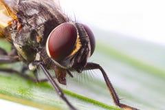 Schließen Sie oben von einer Fliege stockbild