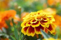 Schließen Sie oben von einer gelben Ringelblume Lizenzfreie Stockfotografie