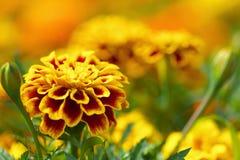 Schließen Sie oben von einer gelben Ringelblume Stockfotografie