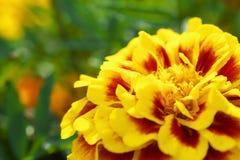 Schließen Sie oben von einer gelben Ringelblume Stockfoto