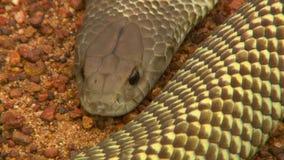Schließen Sie oben von einer giftigen mulga Schlange stock video