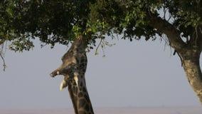 Schließen Sie oben von einer Giraffe, die auf Akazienblätter in der Masaimara-Spielreserve einzieht stock video footage