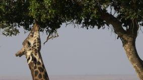 Schließen Sie oben von einer Giraffe unter Verwendung seiner Zunge, um in Masai Mara-Spielreserve einzuziehen stock footage