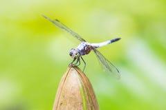schließen Sie oben von einer glücklichen schauenden Libelle, die auf einer Blumenknospe stillsteht Stockfotos