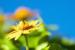 Schließen Sie oben von einer Goldmedaillonblume Lizenzfreies Stockfoto