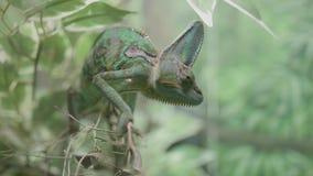 Schließen Sie oben von einer grünen verschleierten Chamäleoneidechse stock video