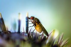 Schließen Sie oben von einer haarigen Fliege, die von einem Stempel isst Stockfotografie