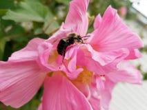 Schließen Sie oben von einer Hummel auf einer verbündeten Rose stockfotos
