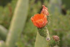 Schließen Sie oben von einer Kaktusfeige lizenzfreie stockbilder