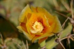 Schließen Sie oben von einer Kaktusfeige lizenzfreies stockfoto