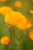 Schließen Sie oben von einer Kalifornien-Mohnblume lizenzfreies stockbild