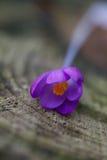 Schließen Sie oben von einer Krokusblume lizenzfreie stockfotografie