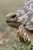 Schließen Sie oben von einer Leopard-Schildkröte Stockfotografie