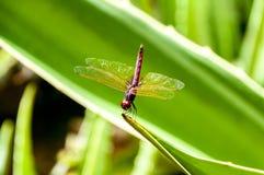 Schließen Sie oben von einer Libelle stockbild