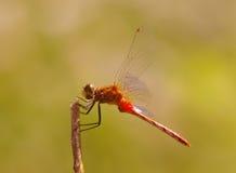 Schließen Sie oben von einer Libelle lizenzfreies stockbild