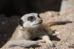 Schließen Sie oben von einer Meerkat Wache Lizenzfreie Stockfotos