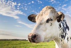 Schließen Sie oben von einer niederländischen Schwarzweiss-Kuh Stockbild